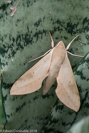 Cape Hawkmoth, Theretra capensis