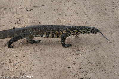 Common water monitor, Varanus salvator