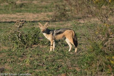 Canis mesomelas, Black-backed jackal