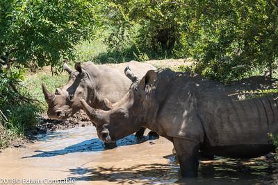 Ceratotherium simum, Square-lipped rhinoceros, White rhinoceros