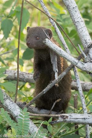 Helogale parvula, Dwarf mongoose