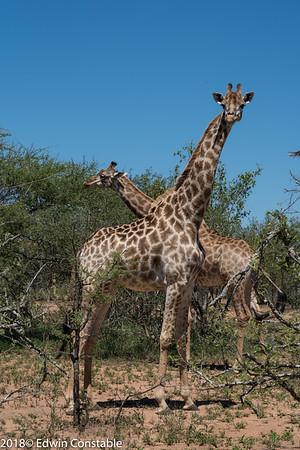 Giraffa camelopardalis, Giraffe