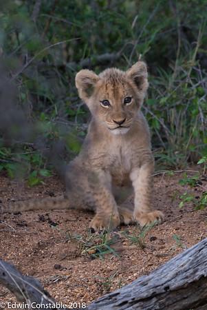 Leo panthera, lion