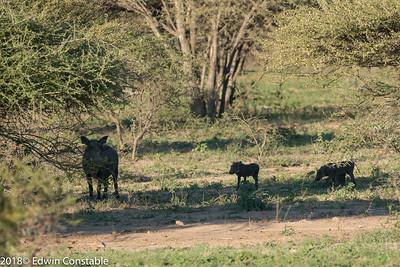 Phacochoerus africanus, Common warthog