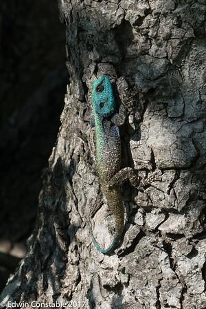 Acanthocecerus atricollis, Blue Headed tree agama, Southern Tree Agama