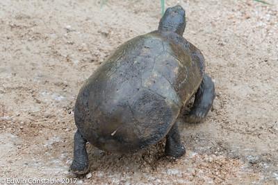 Kinixys spekii, Speke's hinge-back tortoise