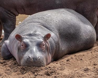 Hippo Hello
