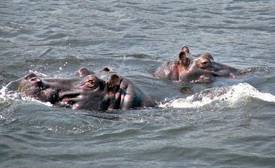 IMG_0061 Hippos Watch