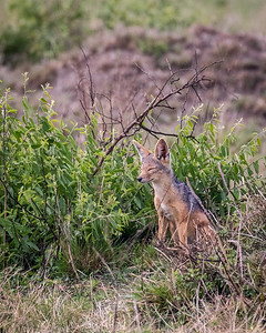 Sleepy Black Backed Jackal