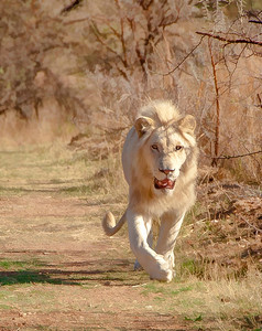 _MLD2645-Lion HDR Topaz 8x10