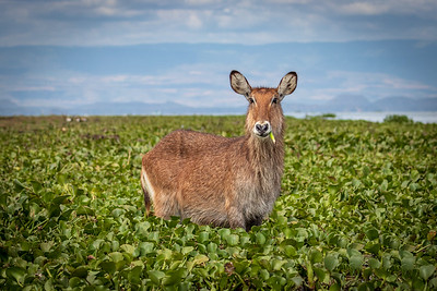 Waterbuck in Lilies