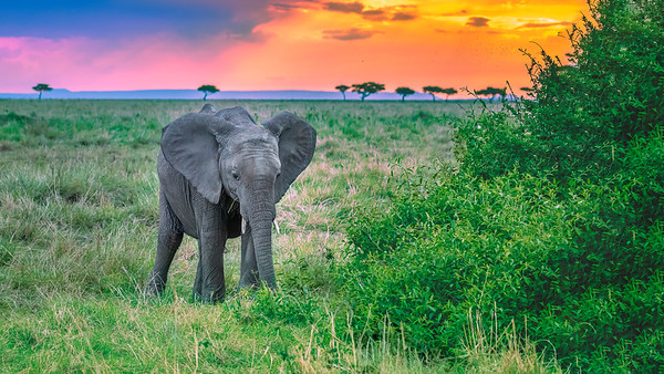 Baby Elephant at Sunset in Kenya