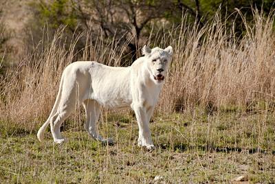 _MLD2622 Lion