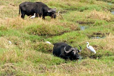 _MLD3561 Cape Buffalo