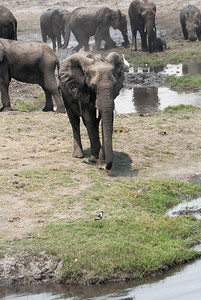 _MLD3820 Elephants