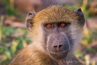 Chacma Baboon Stare