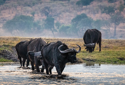 Buffalo Water Crossing