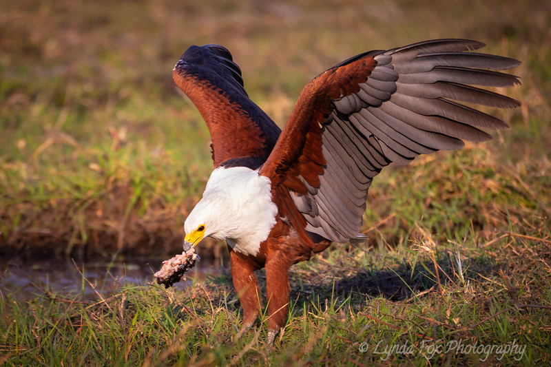 African Fisk Eagle With Prey