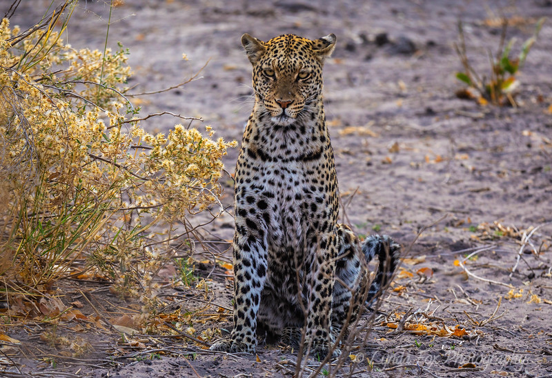 Leopard With Prey In Sight
