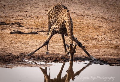 Giraffe Streching to Drink