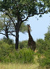 Giraffe and trees have some things in common...and from a distance they look alike!