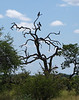 Martial Eagles sitting upon the dead tree branches.