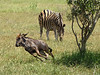 The young Blue Wildebeest realized that he lost his mother, and bolted off, while a Zebra casually grazes.