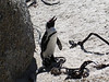 Because of thier donkey-like braying call, they were previously named the Jackass Penguin.
