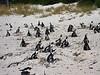 Nesting African Penguins.