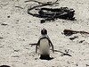 I don't know why penguins are so darn adorable and make us smile, but they do! Especially when they waddle toward you and trip on the dried kelp on the beach, like this one did!