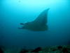 If you stayed low and close to the reef, or over the edge of it, the Manta Rays would come in close, moving with beautiful slow assurance.