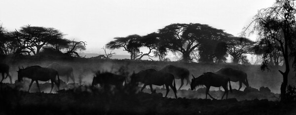 Start of the Wildebeest Migration - Kenya