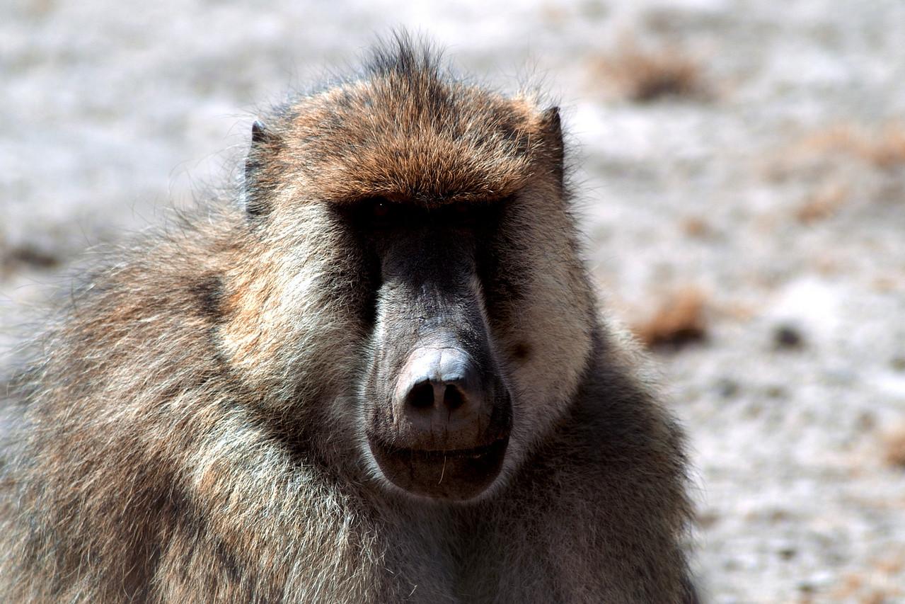 Bully Baboon, Kenya