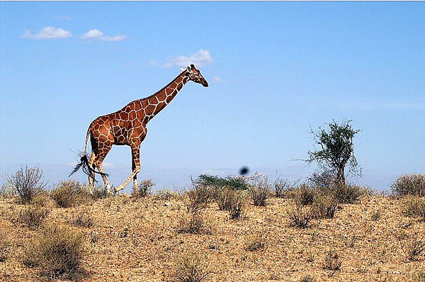 Kenya Big Boy