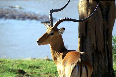 Kenya Safari Impala