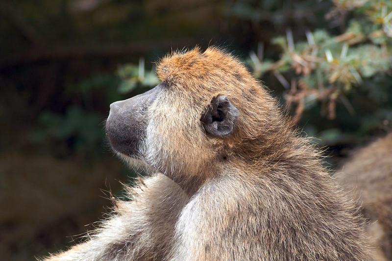 Smug Baboon