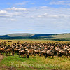 Wildebeest graze during their annual migration across Kenya and other African countries.