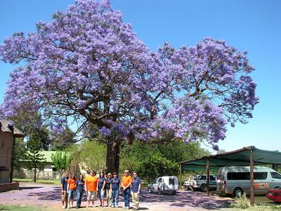 IMG_7835 Shikwaru Jacaranda Tree