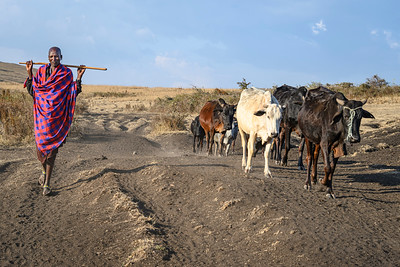 Maasai herdsman and his cattle