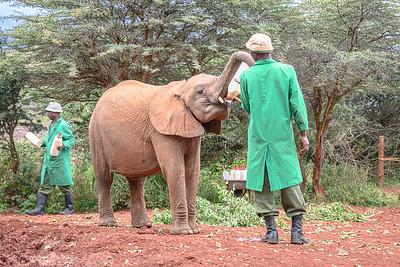 Feeding time at the Elephant Wildlife Orphanage in Nairboi, Kenya