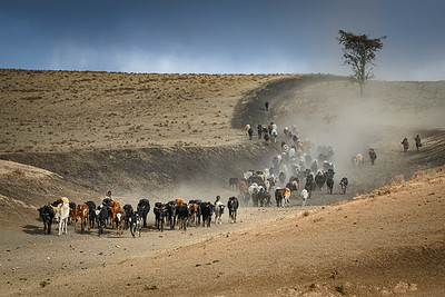 Maasai herdsmen and their large cattle herds are seen througout Kenya and Tanzania