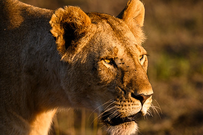 Lioness at dawn