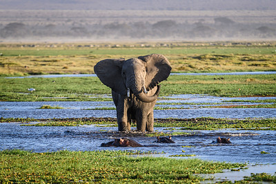 The elephant storms towards the hippos; Amboseli National Park, Kenya