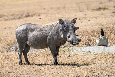 The warthog with a friend; Ngorongoro Crater, Tanzania
