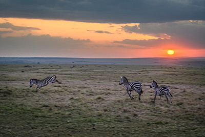 Zebras at play, celebrating the sunset; Masai Mara National Reserve, Kenya