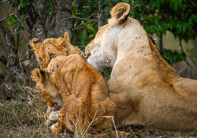 Lion cubs frolic with their mother; Masai Mara National Reserve, Kenya