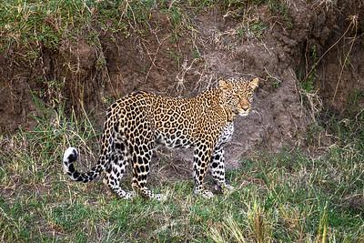 Leopard focuses...