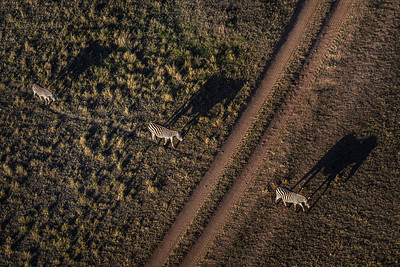 Zebras dream of looking like elephants - taken from above in a hot air balloon