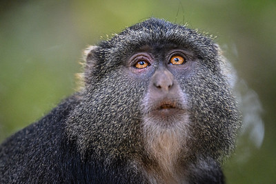 Monkey with a very human-like gaze; Lake Manyara National Park, Tanzania