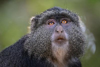Monkey with a very human-like gaze